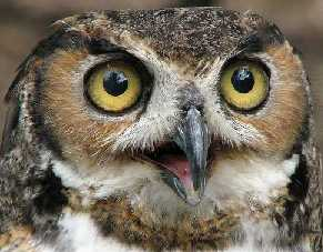 Beware Of The Great Horned Owl